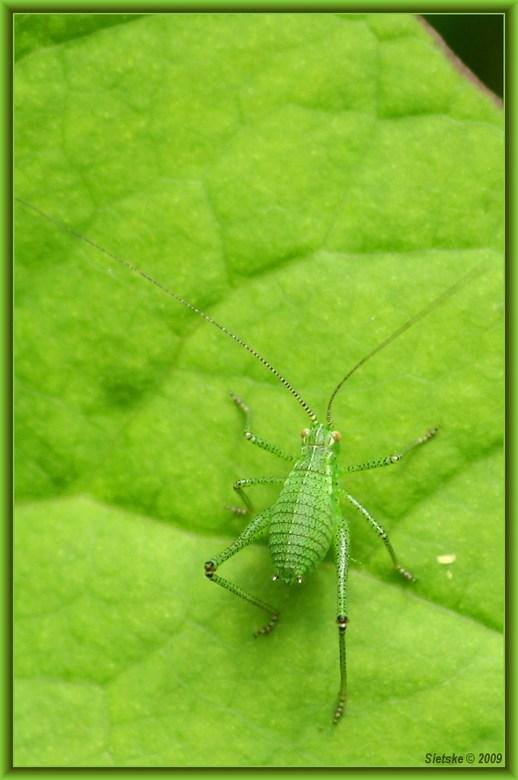 't Is groen (?) - 't Is groen met lange sprieten en het zat in mijn tuin. Ik heb geen idee hoe dit beestje heet.