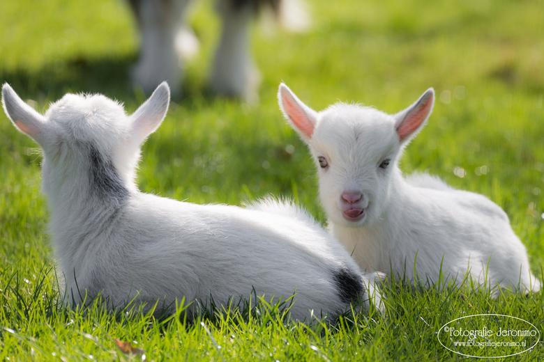 Genieten van het lentezonnetje  - Deze 2 pasgeboren geitjes genieten optimaal van het heerlijke warme lentezonnetje !<br /> <br /> © Fotografie Jero