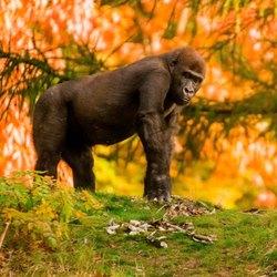 gorilla in de apenheul