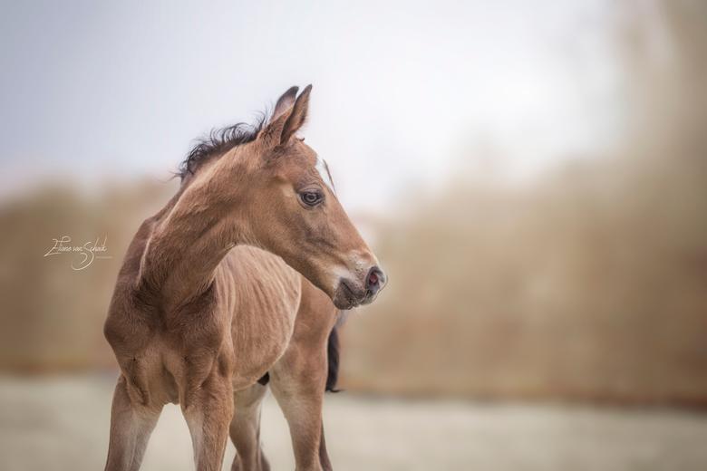 little stallion