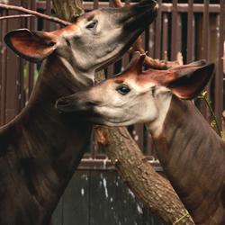 Okapi's M'Buti en Nqwani in Blijdorp