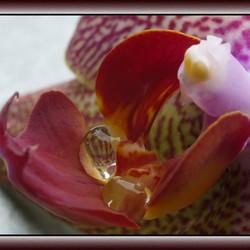 Orchideedruppels