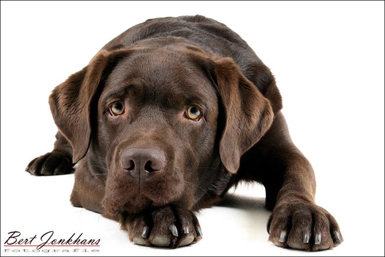 Irresistible! - Deze bruine labrador heb ik afgelopen zaterdag op de foto gezet.<br /> En als ze dan ook nog eens zo voor je poseren!