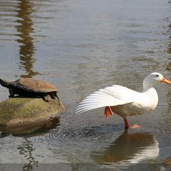 schildpad en de witte eend