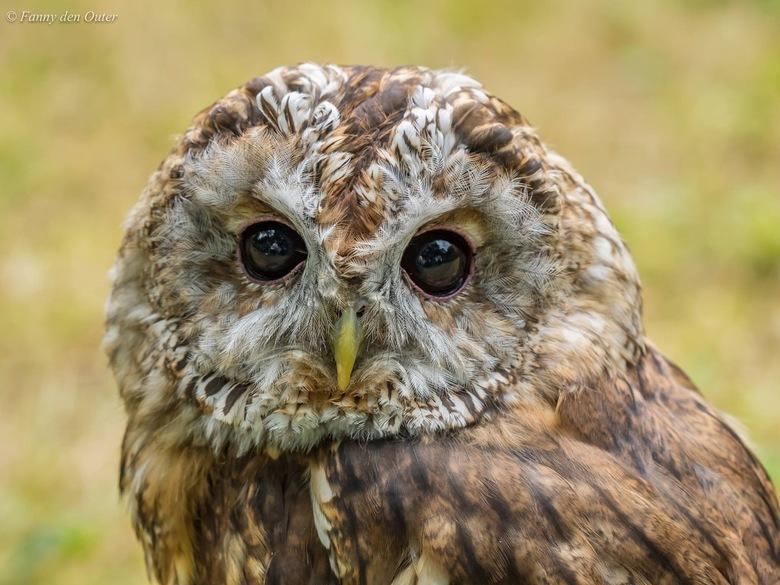 Tawny or Brown Owl - Sherwood Forest, Nottingham, UK.