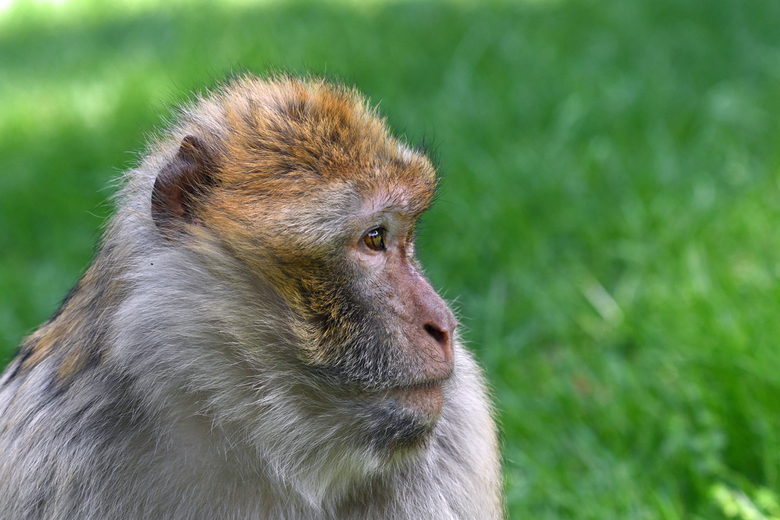 straatrover - Er leven circa 200 berberapen op de Rots van Gibraltar. Zij hebben 5 groepen gevormd. Het aantal apen wordt beperkt tot ongeveer 200, on
