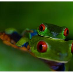 Roodoogkikker, Costa Rica