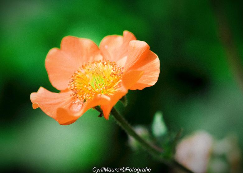 Oranje in Korrel sfeer - nog een uit de zoomdag De Luie tuinman<br /> <br /> hier heb ik bewust voor zacht korrel effect  gekozen om de sfeer van de