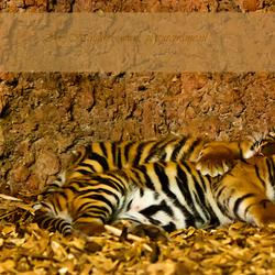 jonge tijgertjes blijdorp