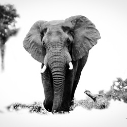 Elephant Bull silver black