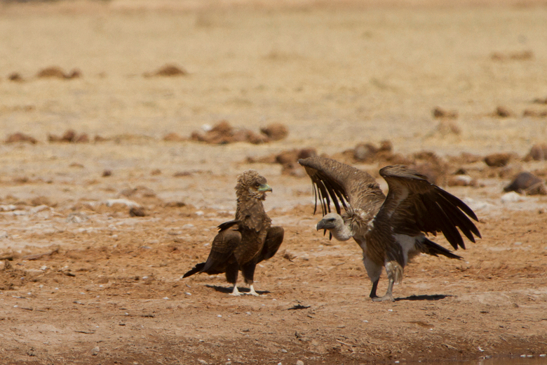 Young Tawny eagle en Vulture Botswana - Young Tawny eagle en Vulture Botswana