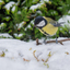 koolmees in de sneeuw