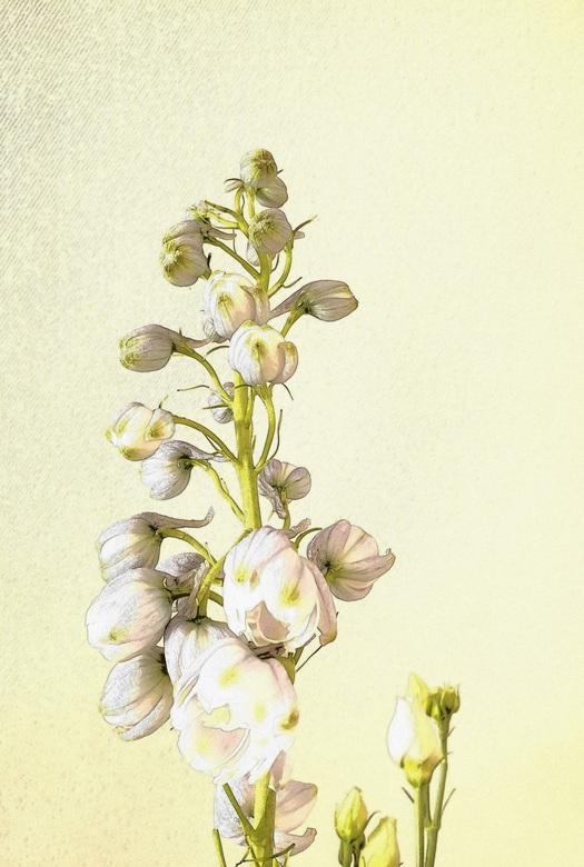 RIDDERSPOOR - Ridderspoor  een mooie bloem die ik vandaag kreeg voor mijn verjaardag gr Bets