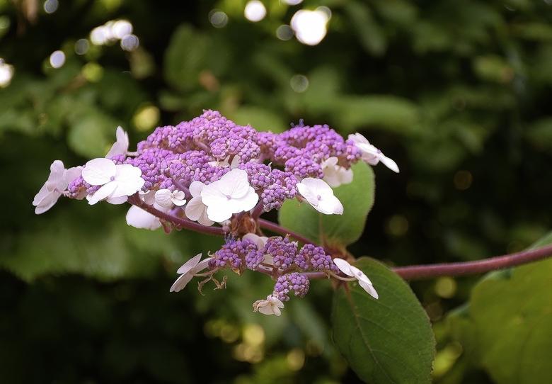 Fluweelhortensia