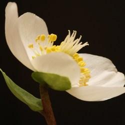 kerst roos