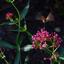 Kolibrievlinder (V-Z)