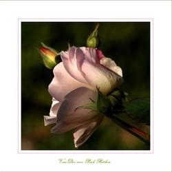 Roze roos in herfst