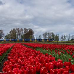 NS Sprinter en tulpen