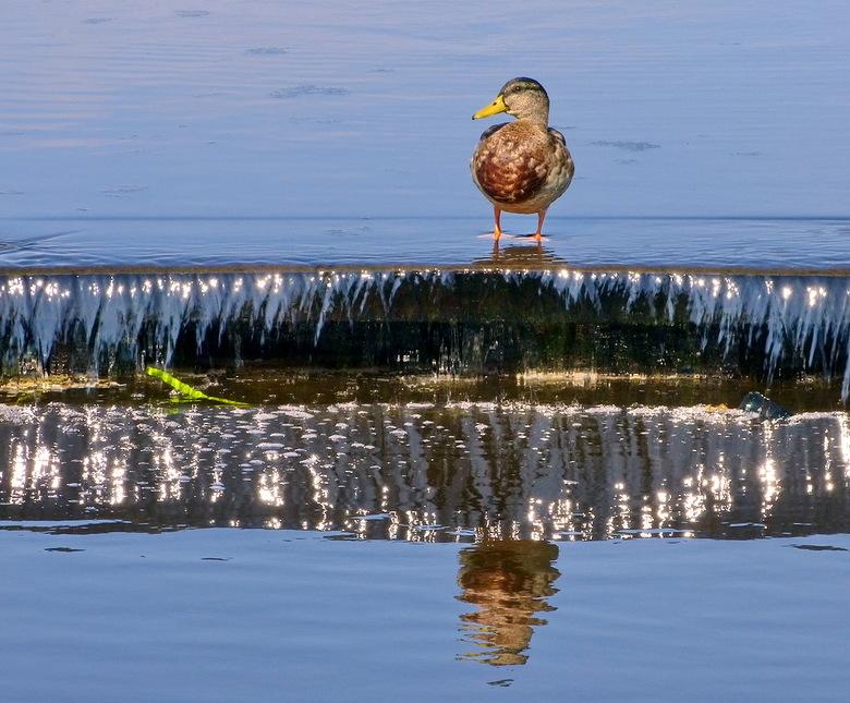 vogel serie 285. - Eend bovenop een watertrap Kortenhoef.<br /> <br /> 4 september 2012.<br /> Groetjes, Bob.