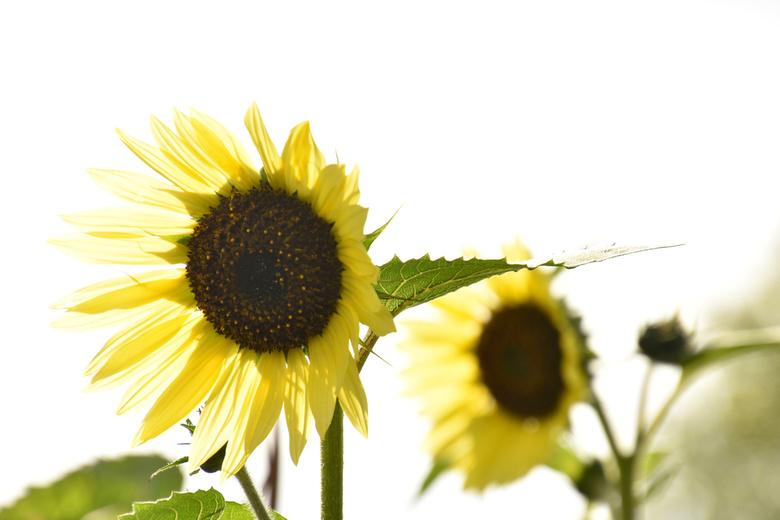 DSC_4321  Zonnebloemen. - Een groet van de zomer.<br />