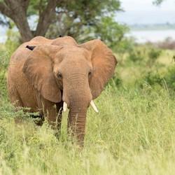 Olifant tijdens safari Oeganda