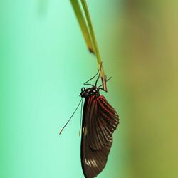 Doris passiebloemvlinder