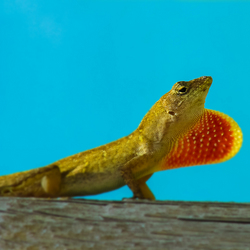 Anolis communiceert