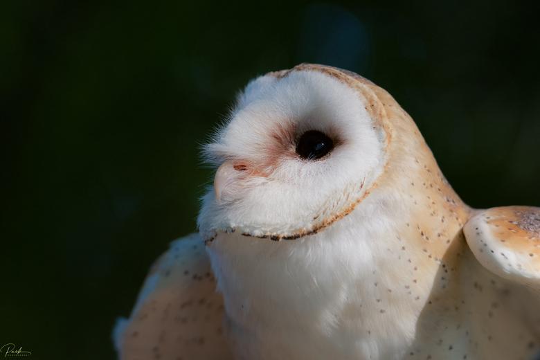 Dotje - gister ochtend enkele vogels van Miss Hawk mogen fotograferen, waaronder Dotje, de kerkuil.