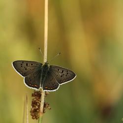 Bruine Vuurvlinder (m)