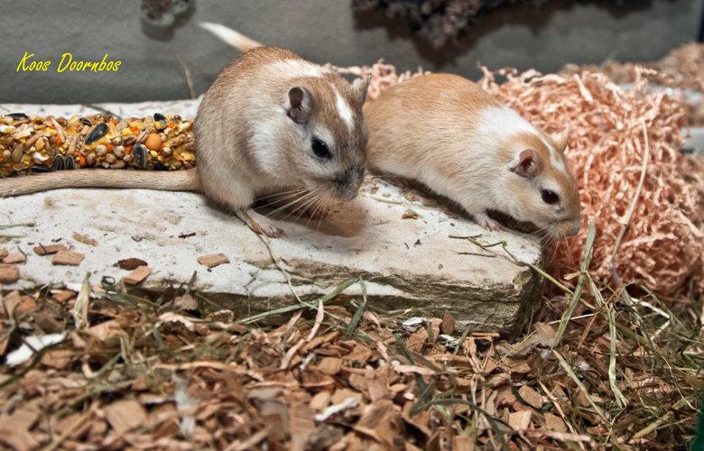 Gerbil - Onze buren zijn in november 2008 verhuisd en wilden van hun Gerbils af.<br /> Wij hebben de 2 genomen en het zijn ontzettende grappige diert