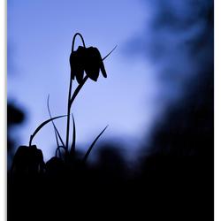 De kievitsbloem (Fritillaria meleagris)