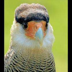 Roofvogel maar de naam???