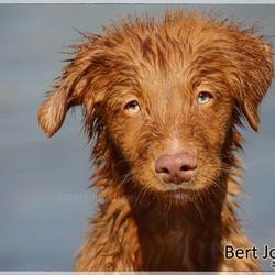 Toller pup!