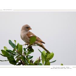Grey-Headed Sparrow,Kenia