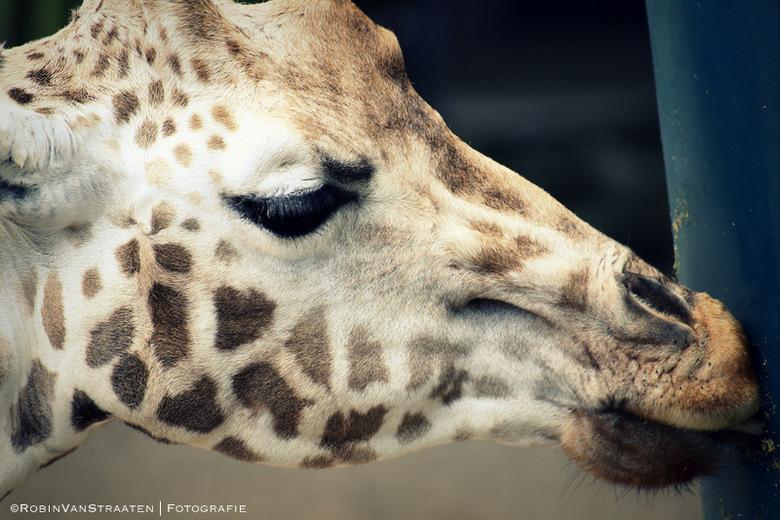 Giraffe - Giraffe - ©RobinVanStraaten   Fotografie