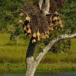 Nestjes van de Bontrugwewer