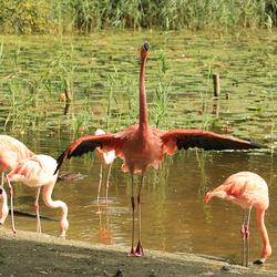 Flamingo dans