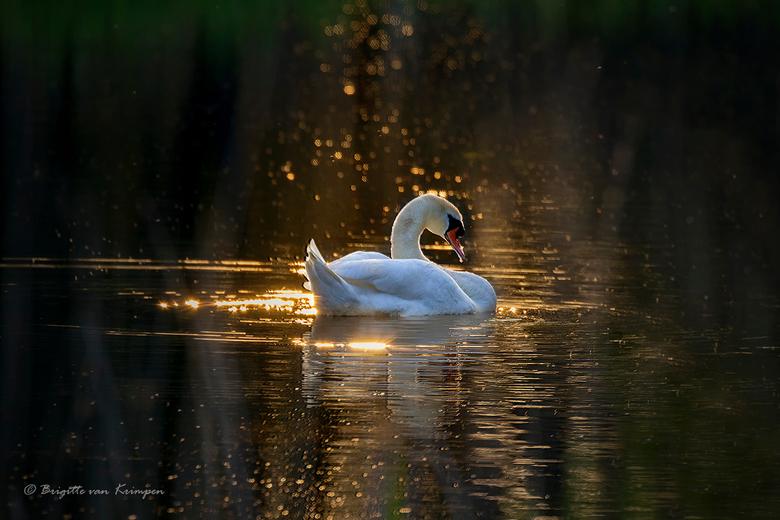 Golden Swan - Even wat licht in de duisternis bij deze grijze troosteloze dagen buiten