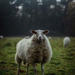 No sheep trills