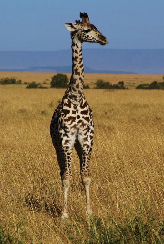 jonge masai giraf -