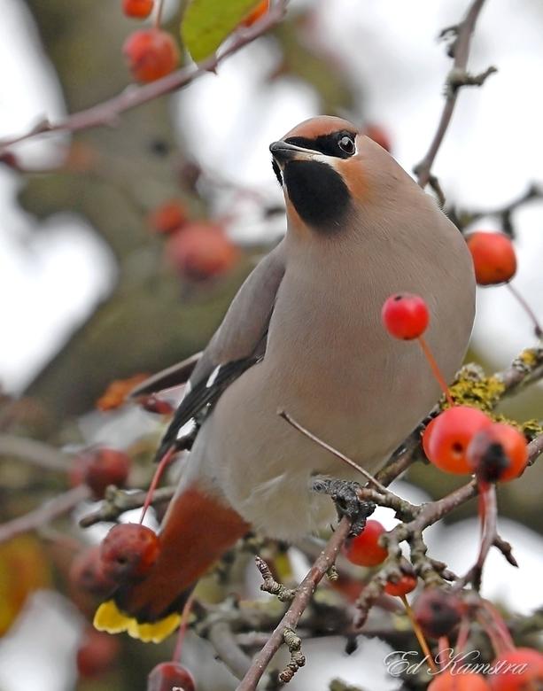 Pestvogel -