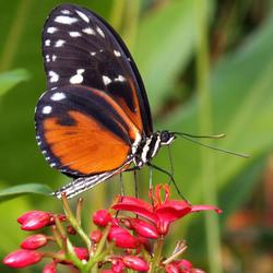 Vlinder in Amazonica