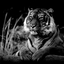 Sumatraanse tijger zwart-wit