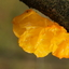gele trilzwam-Tremella mesenterica