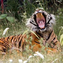 Een gaapje van een Sumatraanse Tijger