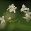 Galium pumilum