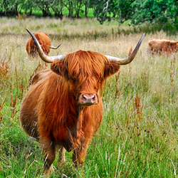 Highland Cow, The Highlands, Schotland