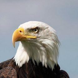 Amerikaanse Visarend
