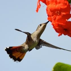 Muskietkolibrie