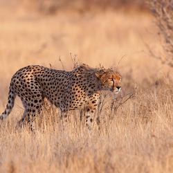 Cheetah nr. 5